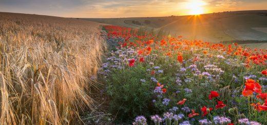 utro-pole-kolosya-cvety